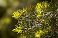 Green needles of pine - PhotoDune Item for Sale