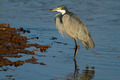 Black-headed heron - PhotoDune Item for Sale