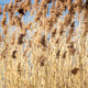 Common Reed (Phragmites) in the Pogoria III lake, Poland. - PhotoDune Item for Sale