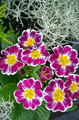 Purple and yellow primroses - PhotoDune Item for Sale
