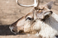 Head of a reindeer, rangifer tarandus - PhotoDune Item for Sale