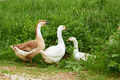 Two geese and goose on the meadow - PhotoDune Item for Sale