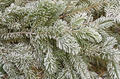 Frosty Pine Branches - PhotoDune Item for Sale
