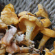 Chantarelles - PhotoDune Item for Sale
