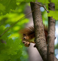 Red squirrel on tree with walnut in mouth. - PhotoDune Item for Sale