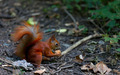 Red squirrel eat walnut in autumn forest - PhotoDune Item for Sale