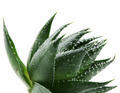 Aloe vera - PhotoDune Item for Sale