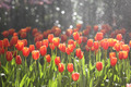 tulips in warm sunlight - PhotoDune Item for Sale