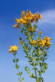 Flowering Hypericum plant - PhotoDune Item for Sale