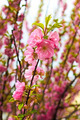 Sakura in spring time - PhotoDune Item for Sale