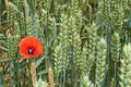 Red poppy flower among green wheat ears - PhotoDune Item for Sale