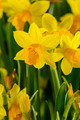 Yellow narcissus spring flowers - PhotoDune Item for Sale