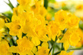 Detail of yellow narcissus spring flower - PhotoDune Item for Sale