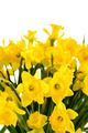 Spring flowers yellow narcissus on white background - PhotoDune Item for Sale