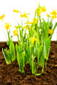Seedling of narcissus spring flowers - PhotoDune Item for Sale