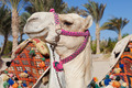 colorful camel head in egypt - PhotoDune Item for Sale