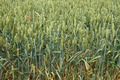 Green ripening wheat ears - PhotoDune Item for Sale