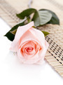 The pink rose lies on a napkin.  - PhotoDune Item for Sale