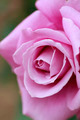 Close up  rose flower - PhotoDune Item for Sale