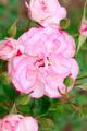 Close up  rose flower - PhotoDune Item for Sale