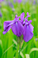Group of purple irises - PhotoDune Item for Sale