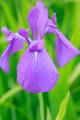 Group of purple irises - PhotoDune Item for Sale