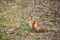 Red fox, Vulpes vulpes - PhotoDune Item for Sale