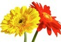 Red and yellow flower on a white background - PhotoDune Item for Sale