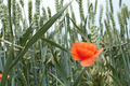 Red poppy flower among wheat ears - PhotoDune Item for Sale