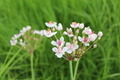 flowers of butomus umbellatus - PhotoDune Item for Sale