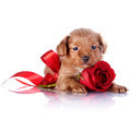 Puppy with a red bow and a rose.  - PhotoDune Item for Sale