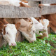 farm calves eat green grass - PhotoDune Item for Sale