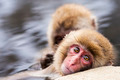 Japanese Snow Monkeys - PhotoDune Item for Sale