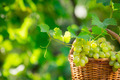 Bunch of white grapes in basket - PhotoDune Item for Sale
