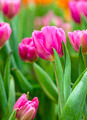 pink tulips flower - PhotoDune Item for Sale