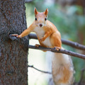 Red squirrel - PhotoDune Item for Sale