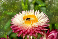 pink everlasting or strawflower - PhotoDune Item for Sale
