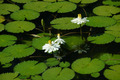 Waterlily in Botanical gardens - PhotoDune Item for Sale