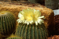 Yellow cactus flower - PhotoDune Item for Sale