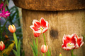 Tulips are blooming in the garden. - PhotoDune Item for Sale