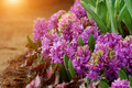 Hyacinth flowers in the garden. - PhotoDune Item for Sale