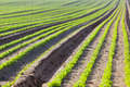 Cultivated field: fresh green salad bed rows - PhotoDune Item for Sale