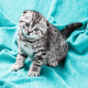 small Scottish fold kitten - PhotoDune Item for Sale