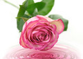 Pink Rose - PhotoDune Item for Sale