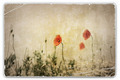 Vintage Photograph of Poppies in Field - PhotoDune Item for Sale