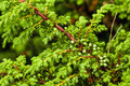 Green juniper's berries - PhotoDune Item for Sale