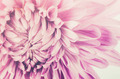Chrysanthemum flower - PhotoDune Item for Sale