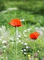 Red poppy flower field - PhotoDune Item for Sale