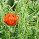 Red poppy and green grass - PhotoDune Item for Sale