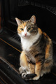 tricolor cat sits on the piano - PhotoDune Item for Sale